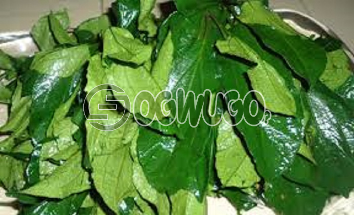 1 big fresh head of  Ugu leaf sold at very affordable price used by expertise in production of different type of medicine.Gives your food an attractive loook.